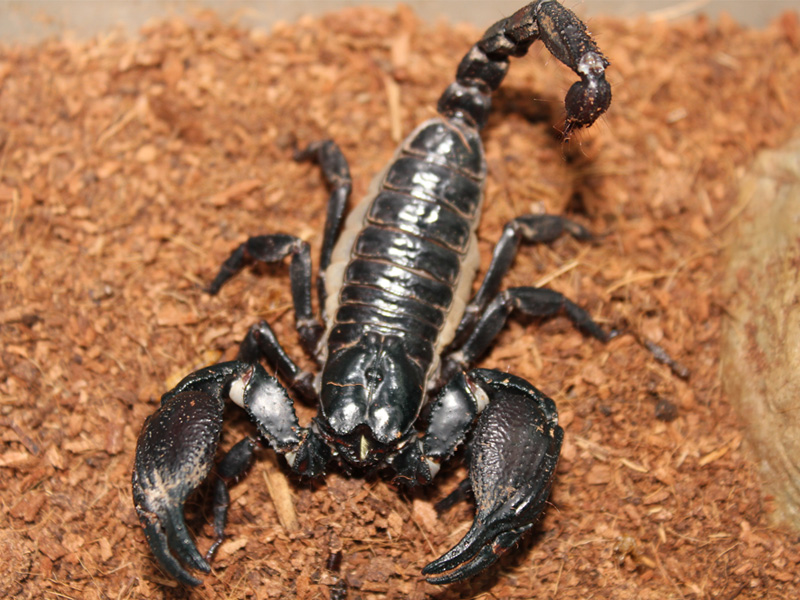 black scorpion worth millions